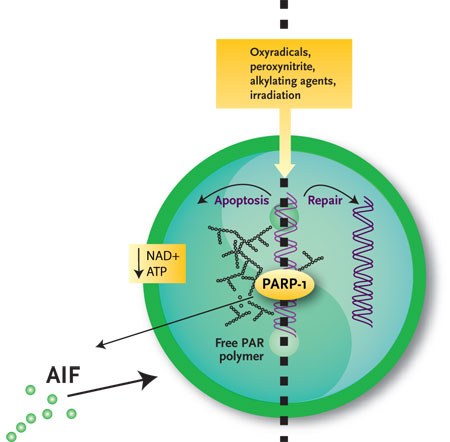 A Push and a Pull for PARP-1 in Aging | The Scientist Magazine®