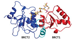 <figcaption>Structure of the BRCA1 tandem BRCT repeats bound to a phosphoserine peptide from BACH1. The first BRCT repeat (red) is connected to the second BRCT repeat (blue) through a short linker (cyan), creating an interdomain groove into which the peptide (orange) fits. Credit: IMAGE COURTESY OF MICHAEL B. YAFFE</figcaption>