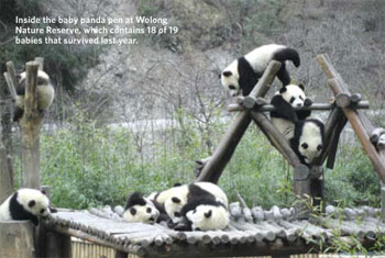 <figcaption>Inside the baby panda pen at Wolong Nature Reserve, which contains 18 of 19 babies that survived last year. Credit: Courtesy of Charlotte Jennings</figcaption>