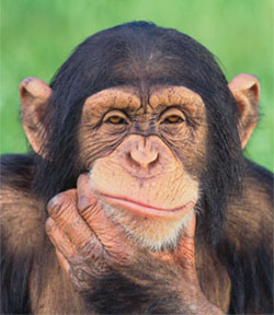 do chimps have culture the scientist magazine