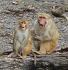<figcaption>Monkeys react to a throw Credit: Courtesy of David Glynn</figcaption>