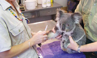 <figcaption>Prepping a koala for a procedure Credit: Courtesy of Stephen Pincock</figcaption>