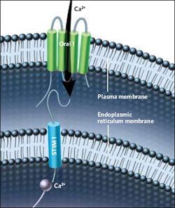 <figcaption>Two independent labs identified STIM as the protein that senses depleted calcium stores in the endoplasmic reticulum and activates the channels through which calcium enters cells. Credit: ILLUSTRATION: THOM GRAVES</figcaption>
