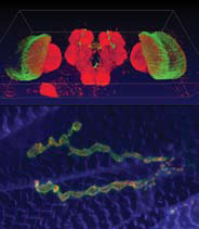 <figcaption>Top: Cultured developing fly brain labeled with photoreceptor-specific GFP (green) and pan-neuronal RFP (red), imaged in conventional confocal mode. Bottom: Neuromuscular junction in fly larva (blue: muscle; green: presynaptic boutons, red: active zones) imaged in resonant confocal mode. Credit: Top: Peter Robin Hiesinger</figcaption>