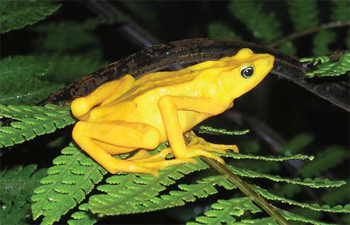 <figcaption>The already-endangered Atelopus zeteki (Panamanian Golden Frog) is now facing extermination from the Bd fungus.</figcaption>