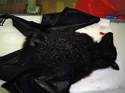 <figcaption>A flying fox Credit: Right: courtesy of Australian Animal Health