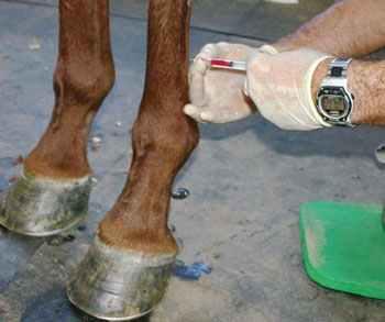 <figcaption>A veterinarian injects stem cells