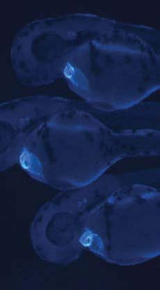 <figcaption>Three day old transgenic zebrafish in which a blue fluorescent protein