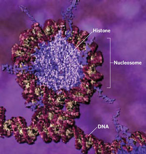 <figcaption>DNA (magenta) wraps around histones (violet) to form pearl-like nucleosomes, which wind up to form chromatin fibers. Click here to watch an animation of DNA packaging. Credit: Animation by Drew Berry. Used with permission from the Howard Hughes Medical Institute, © 2002.</figcaption>