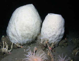 <figcaption>The giant volcano sponge Anoxycalyx joubini can grow