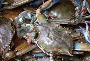 <figcaption>Blue Crab Credit: Wpopp / Wikimedia</figcaption>