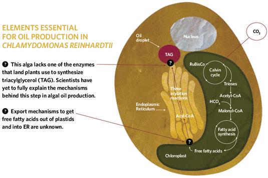Future Oil   The Scientist Magazine®