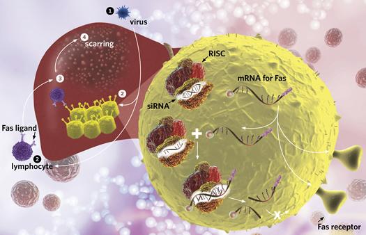 Hepatitis b or c Virus 1