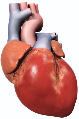 The Heart of the Matter | The Scientist Magazine®